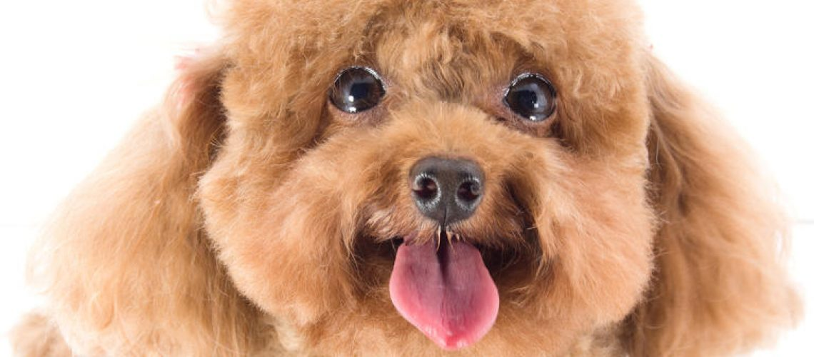 Dog-Toy_Poodle-A_close_up_of_a_Toy_Poodle's_beautiful_little_face